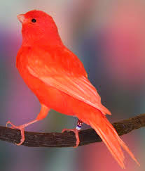 Foto Burung Kenari Merah Burung Kicau Nyaring Gacor