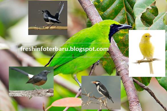 Gambar Burung Kicau Gacor Foto Jenis Burung Kicau Nyaring