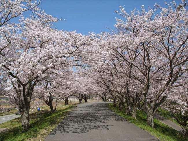 Sakura di Sungai Miya
