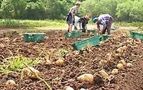 Πλημμύρισαν την αγορά εισαγώμενη πατάτα