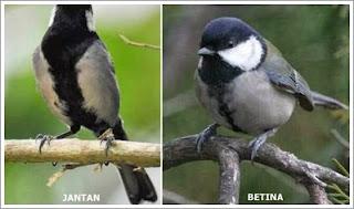 Burung Gelatik jantan Dan Betina