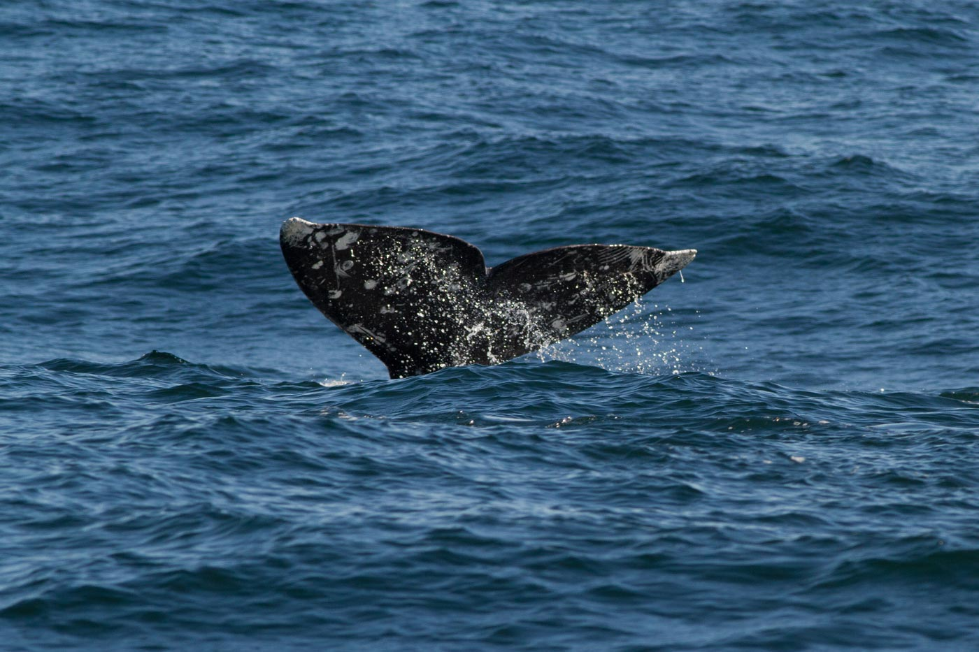 images of gray whales - photo #8