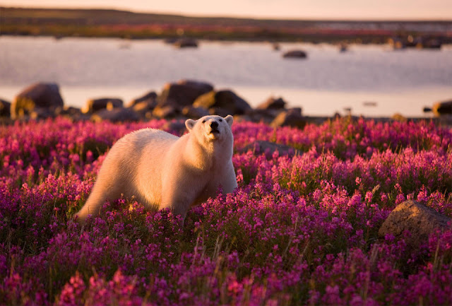 Polar bear wandering in flower field, polar bear picture