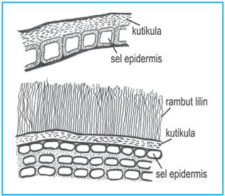 struktur epidermis