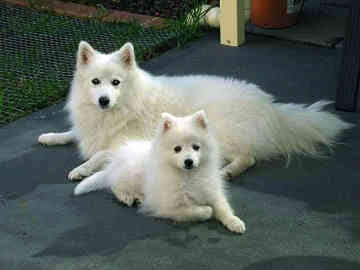 Japanese Spitz And Japanese Spits Dog Tips Review Bullcatdog