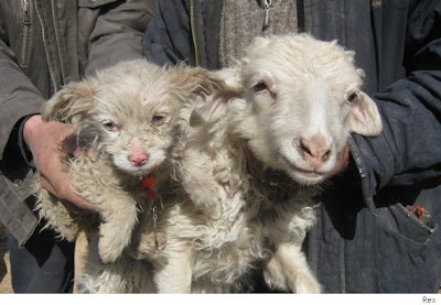 perro oveja de china