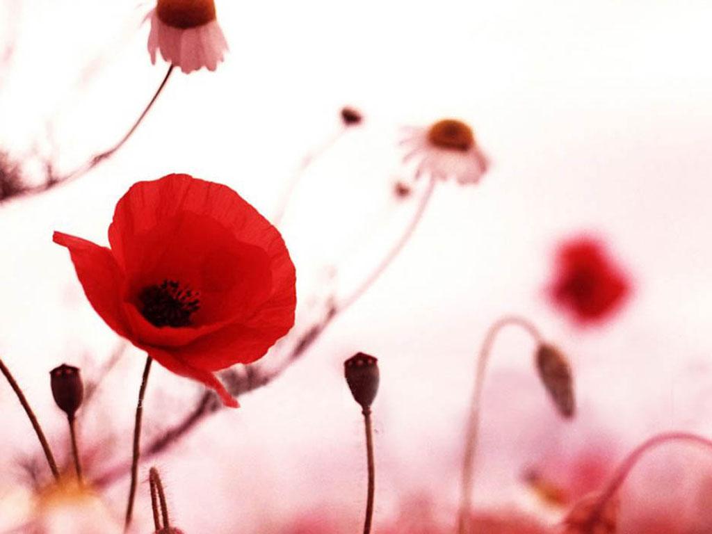 http://1.bp.blogspot.com/-JAlqZYDiznw/UTTJnoqzNBI/AAAAAAAAUBo/ecbu1gy4j-c/s1600/Poppy+Flowers+Desktop+Wallpapers+3.jpg