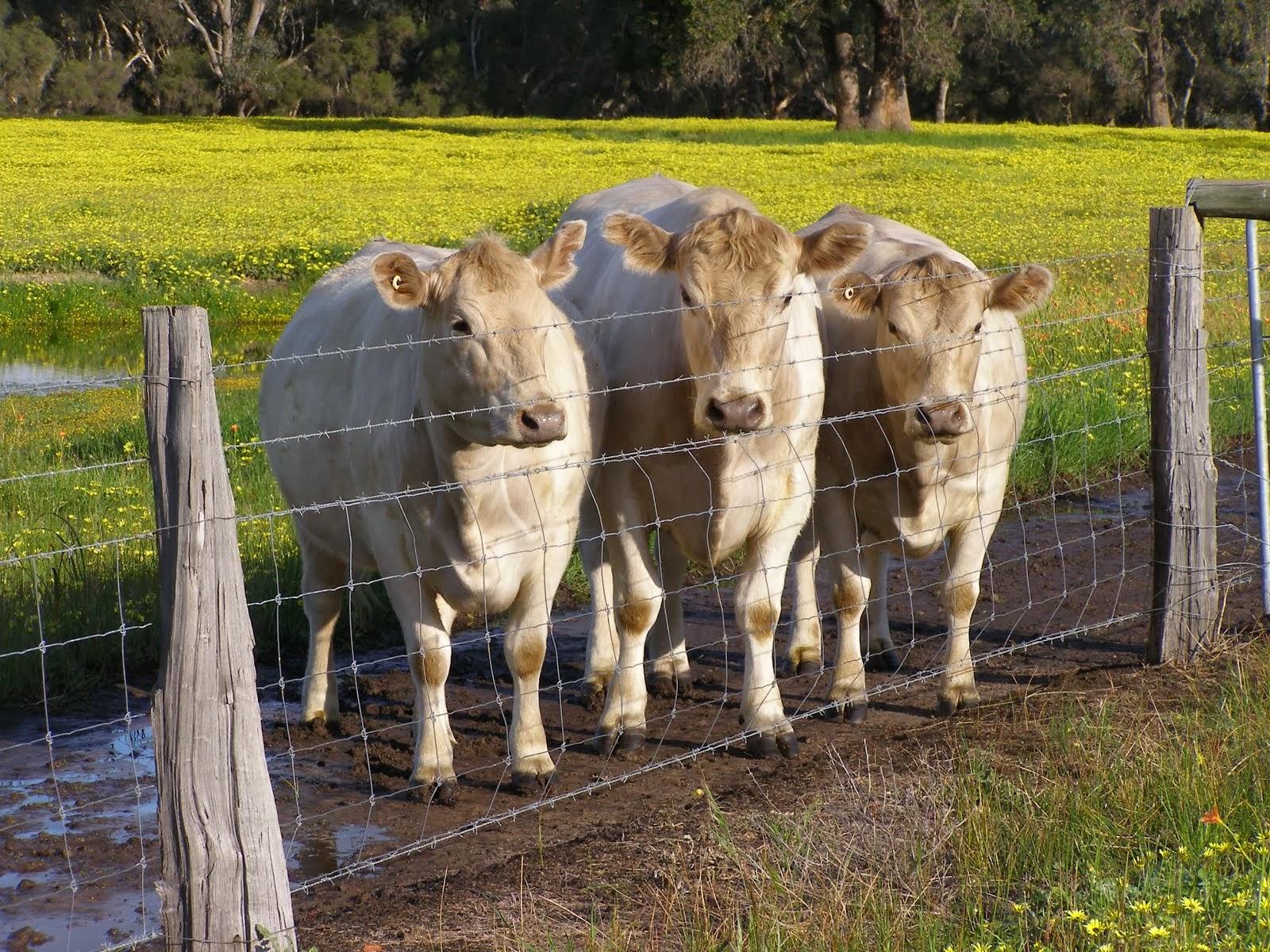 Curious Bulls
