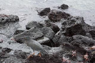 Sally Lightfoot crabs and birdlife at Albemarle, Isabela Island, Galapagos