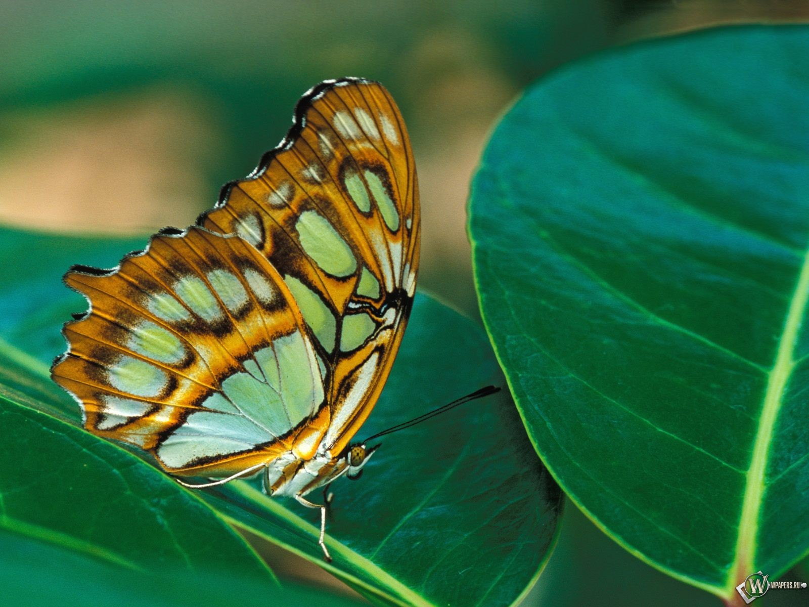 Bright Wing Butterfly Wallpaper