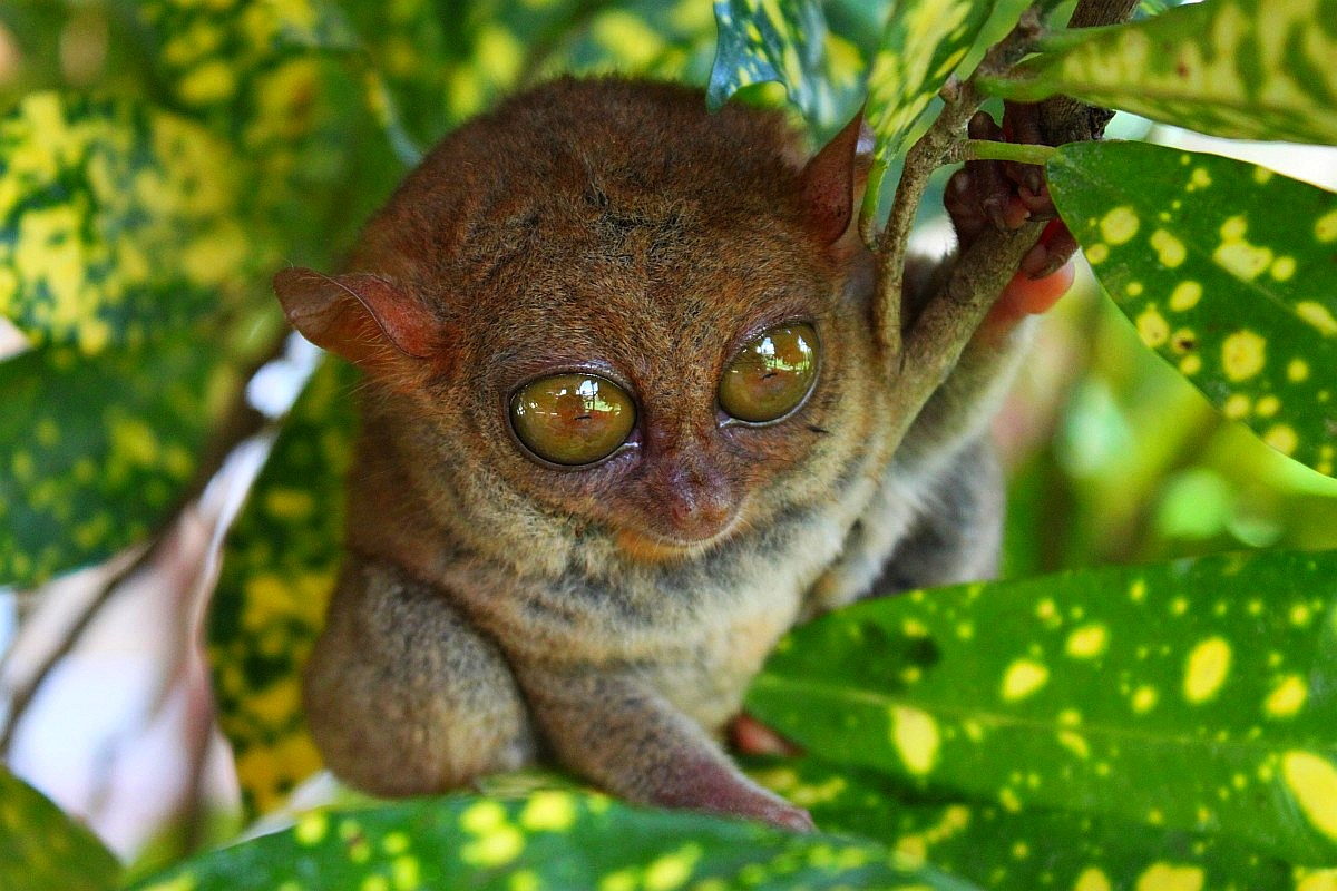 Tarsier Pictures And Wallpapers Animals Library
