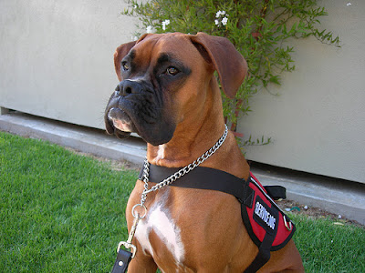 boxer-dog-training-guide