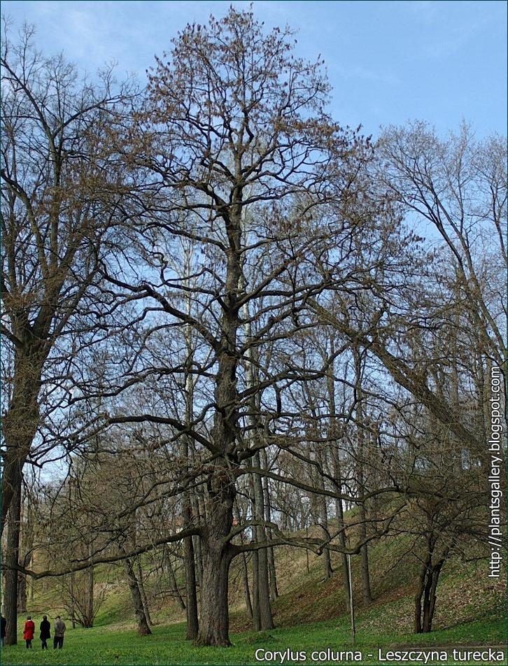 Corylus colurna - Leszczyna turecka