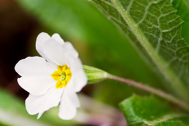 Primula Gigha showing the underside of leaves