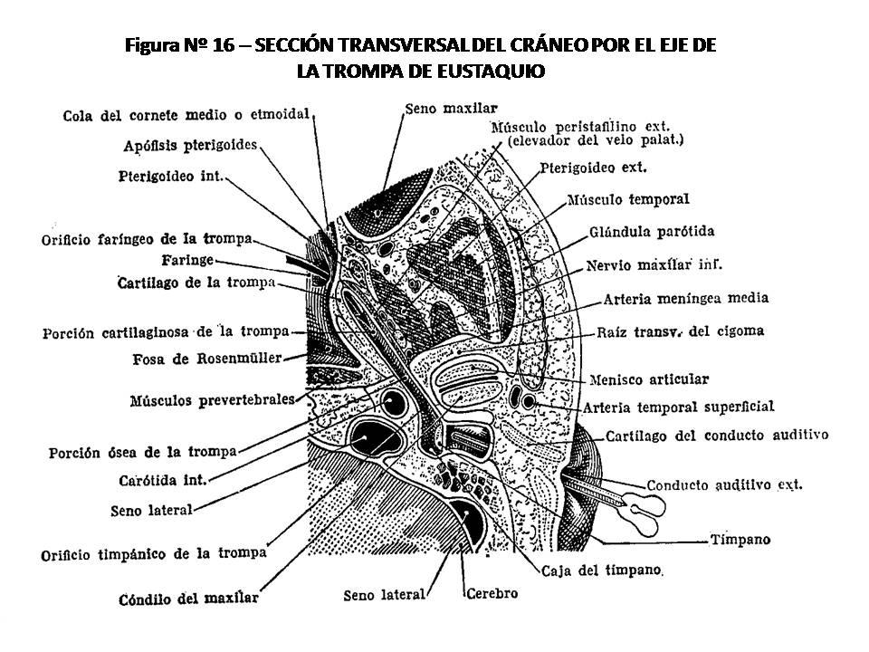 ATLAS DE ANATOMÍA HUMANA: 16. SECCIÓN TRANSVERSAL DEL CRÁNEO POR EL ...