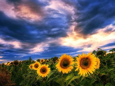 Flores Girasoles Campo