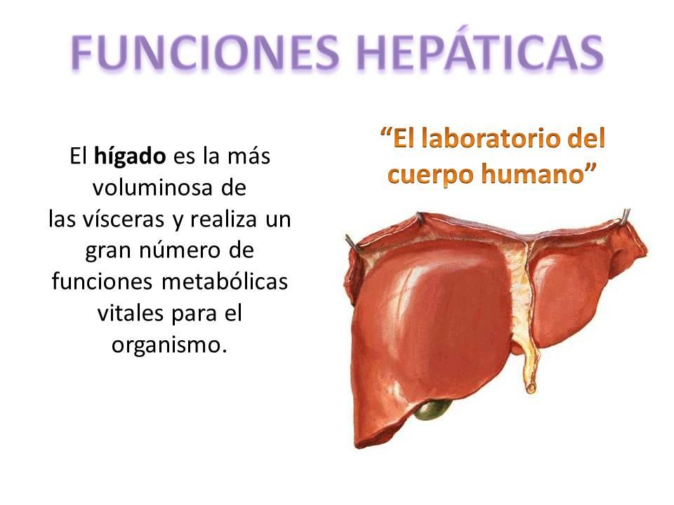 Funciones del hígado | FISIOLOGÍA HUMANA
