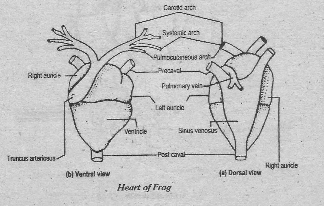 notes guide book  describe the ventral and dorsal side of the frog u0026 39 s heart