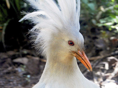 Kagu Bird Photos 2