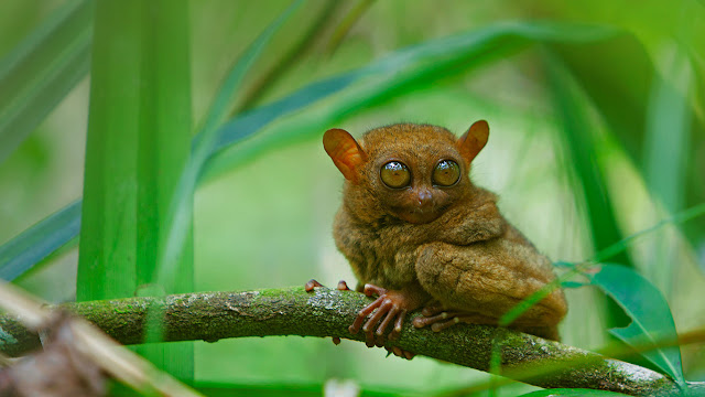 A tarsier at rest, Bohol Island, Philippines (© Deddeda/Getty Images) 707