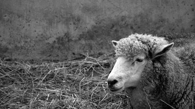 Sheep laying in the hay black and white.