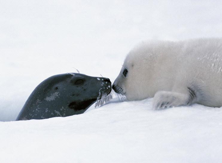 Cute Baby Harp Seal Animal You: Harp Seal