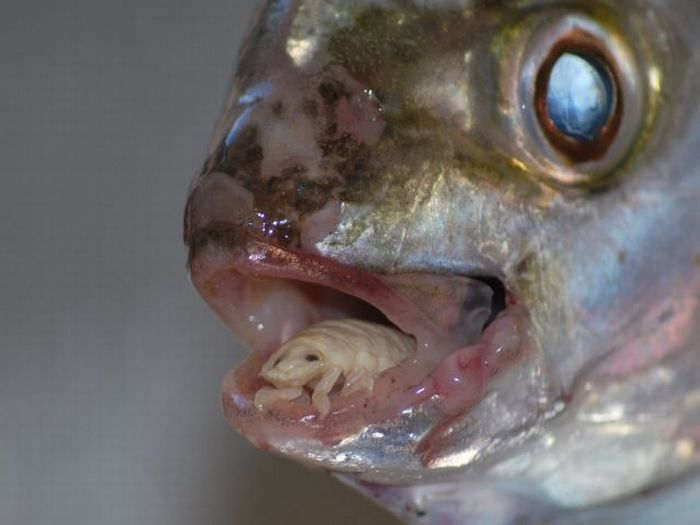 Real monstrosities tongue eating louse for What does fish eat