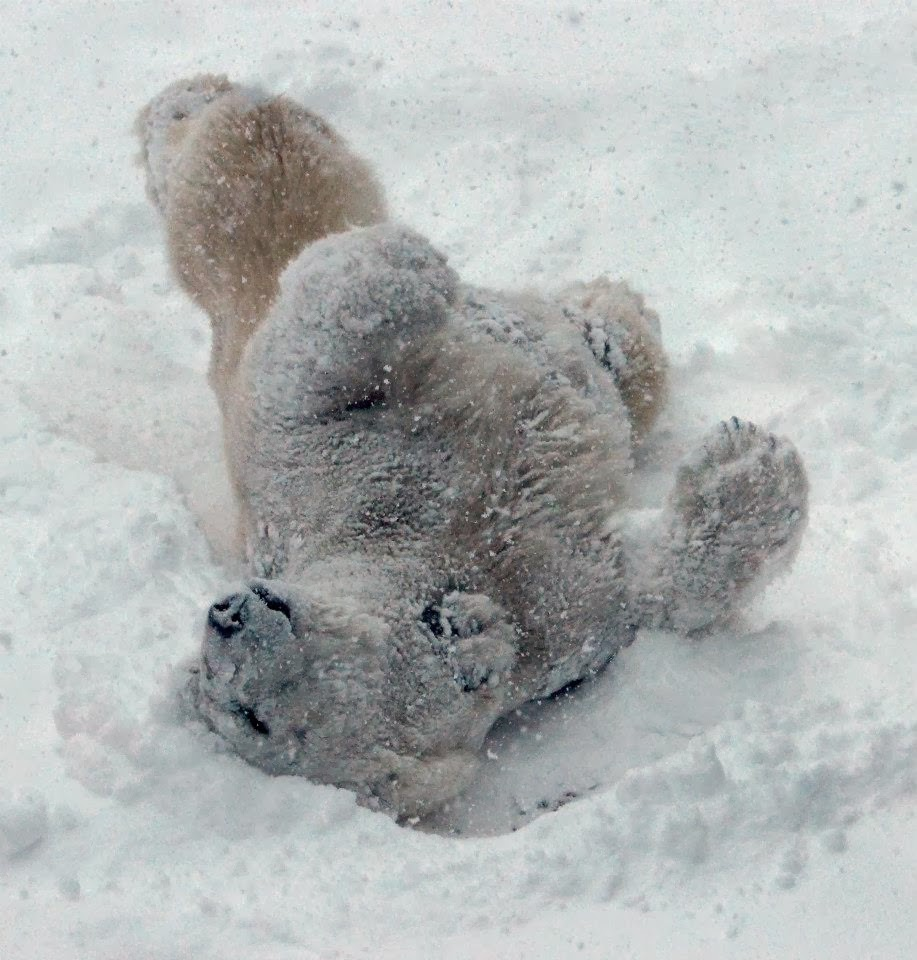 Funny animals of the week - 14 February 2014 (40 pics), polar bear playing in the snow