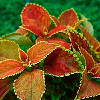 "Jardineria, Catalogo de Plantas: Acalypha wilkesiana ""Thompsonii"""