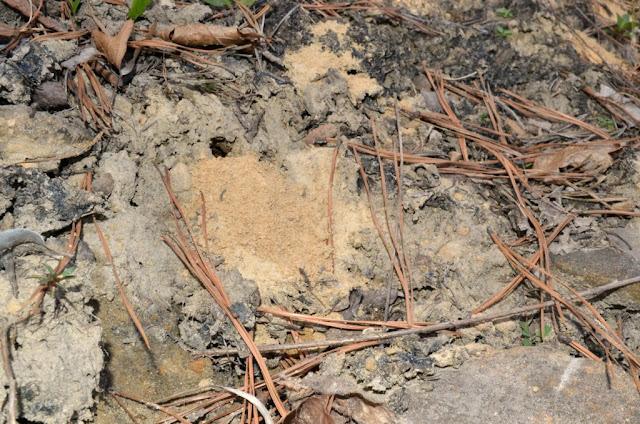 Mining bee nest