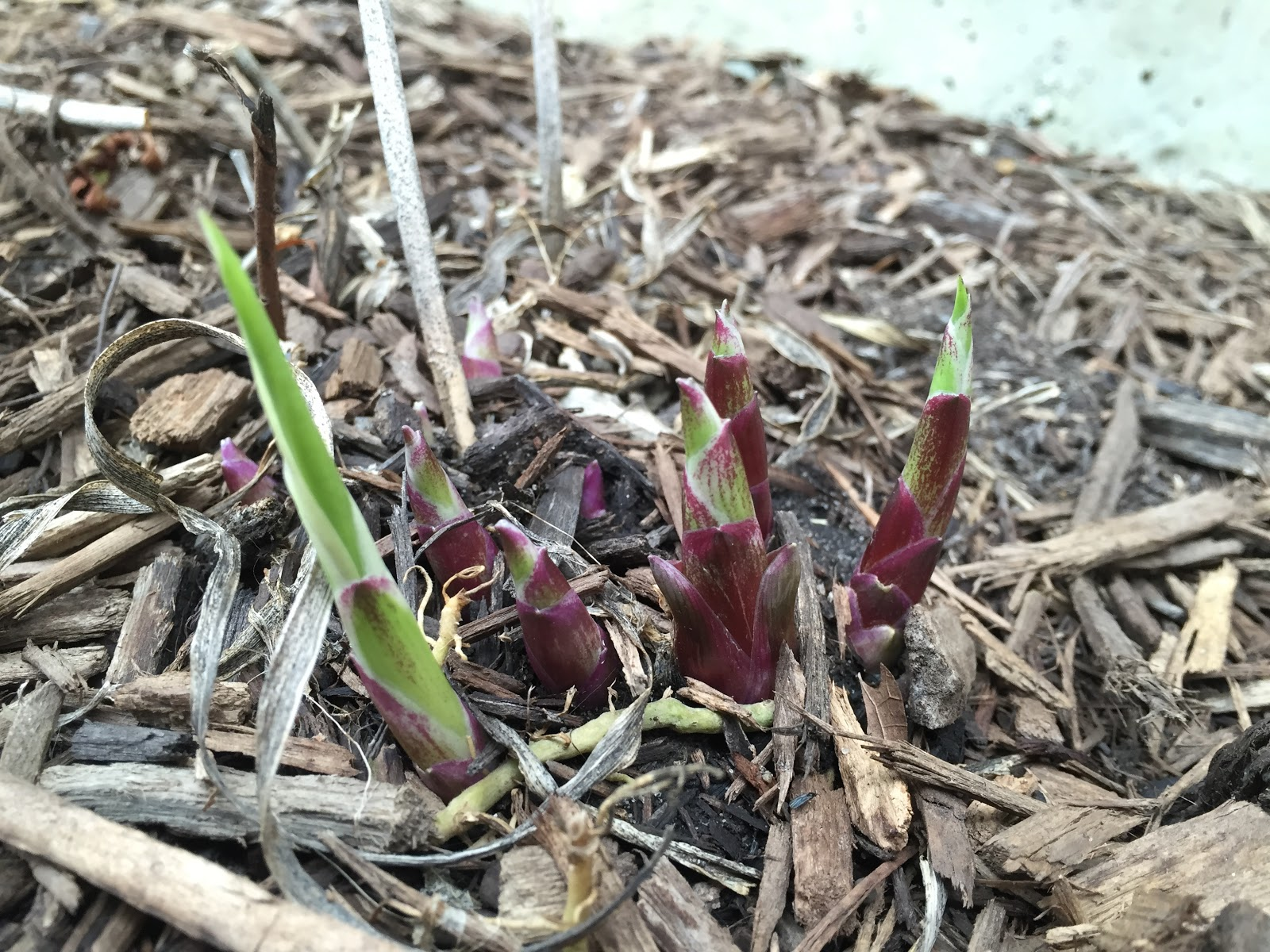 hosta patriot emerging