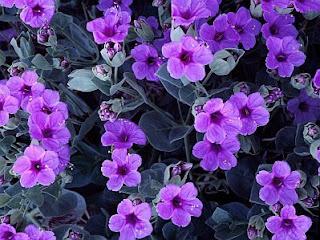 Flores, Fotos de Violetas, parte 1