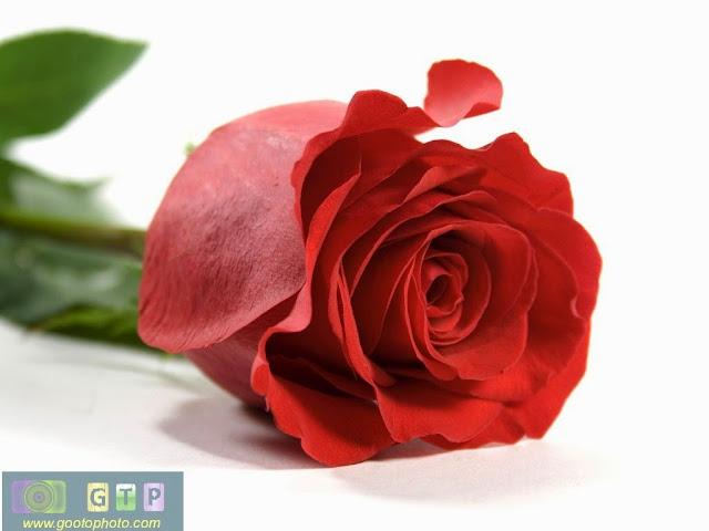 صور ورد احمر صورة وردة جوري حمراء رقيقة