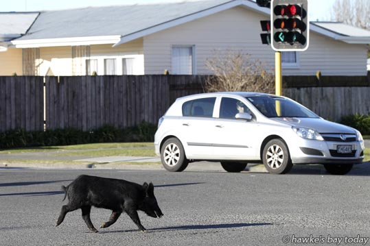 Police, Napier City Council Animal Control, local residents and businesspeople helped chase and catch a little black pig which caused at least two vehicle accidents on Taradale Rd between Austin St and Carnegie Rd, Napier. The pig was eventually caught by Trent Puhara, a local resident, and removed by Animal Control. photograph