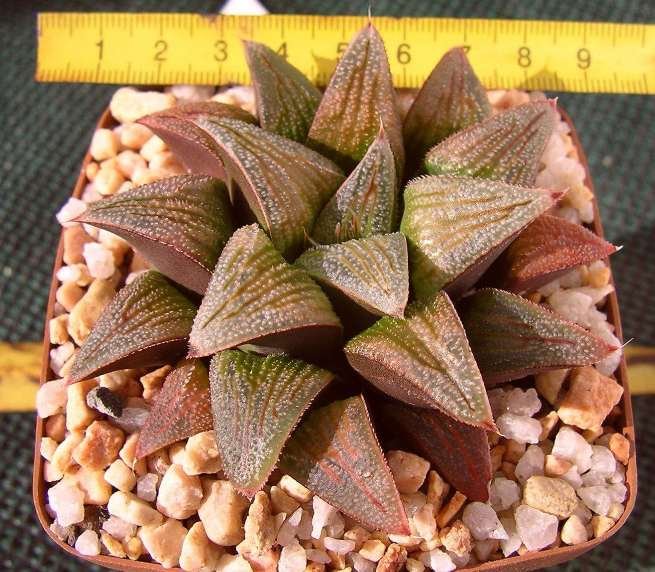 Haworthia cv.  Drew White x atrofusca