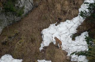 Rasul in Carpatii Romaniei Fotografie wildlife