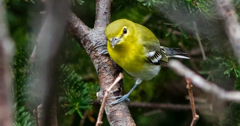 Yellow throated vireo fall - photo#20