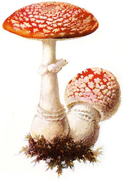 amanita muscaria nutrition