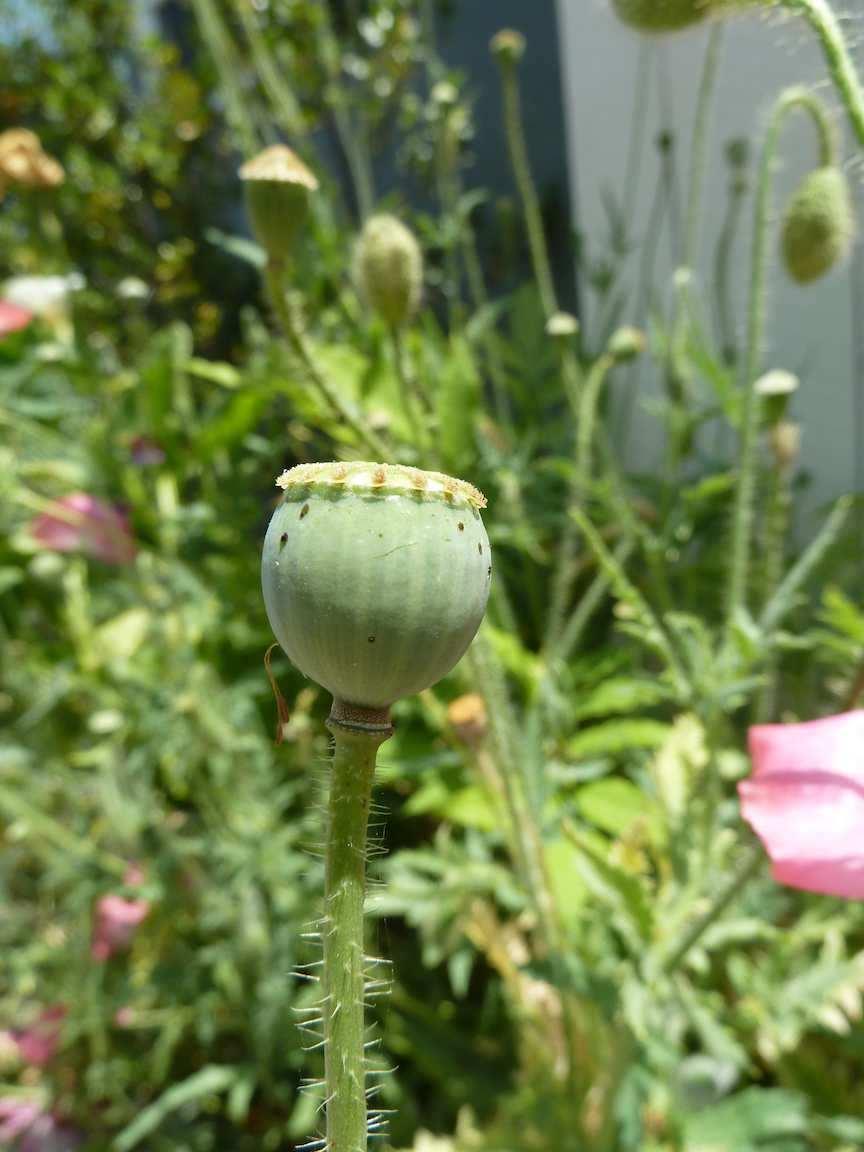 Archies Garden Flower Fotos May 2011 Poppies Purslane Pods