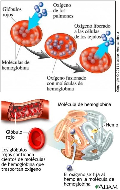Los Globulos Rojos