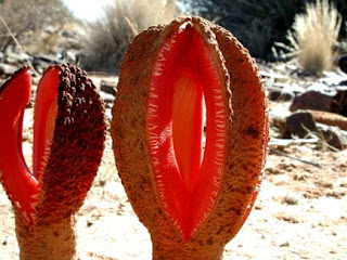 Hydnora africana from the Karasburg District of Namibia by Lytton John Musselman, 2002