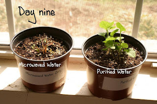 Microwaved Water and Plants, Science Project, by Arielle Reynolds
