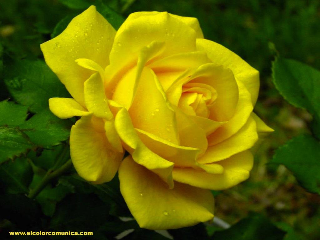 El color comunica significado de las rosas amarillas - Significado rosas amarillas ...
