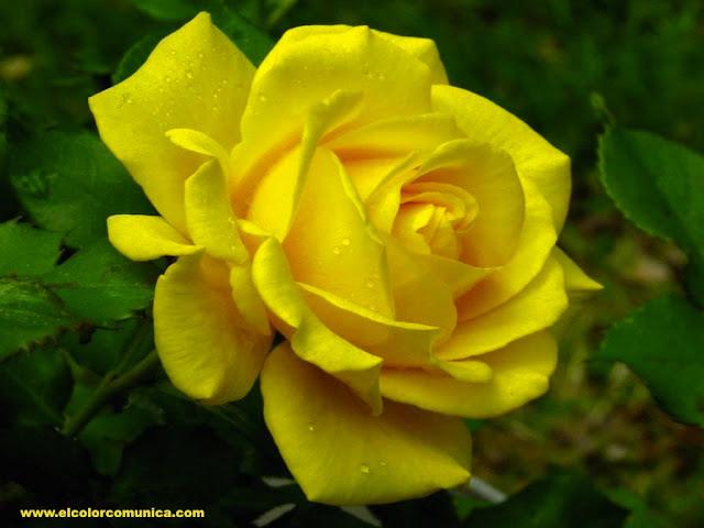Significado de las rosas amarillas @ElColorComunica