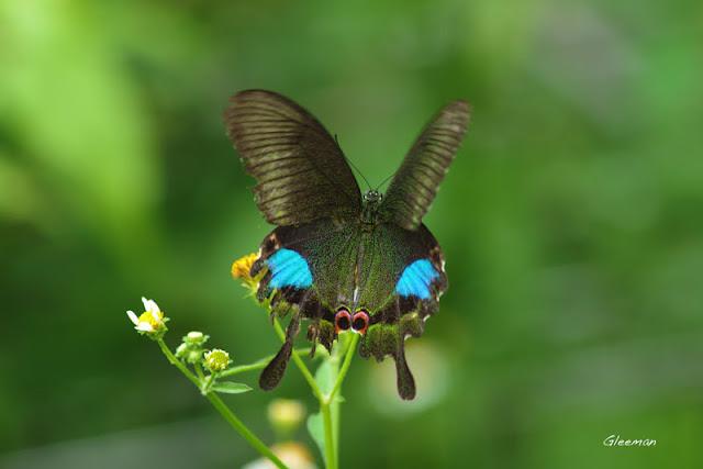 雞南山的大琉璃紋鳳蝶