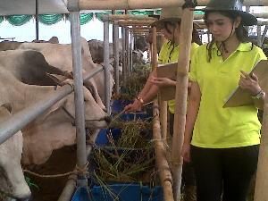 SPG menjual sapi