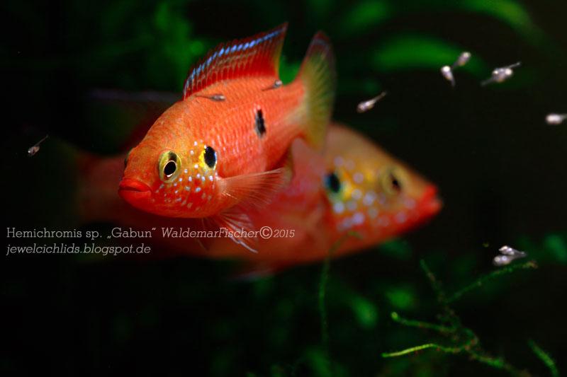 """Heute habe ich ein Photo von meinem H. sp. """"Gabun"""" Paar, das inzwischen in den Gruson-Gewächshäusern in Magdeburg zu finden ist. Diese noch nicht beschriebene Art lässt sich in ausreichen großen Aquarien gut vergesellschaften und eignet sich auch für die Gruppenhaltung."""