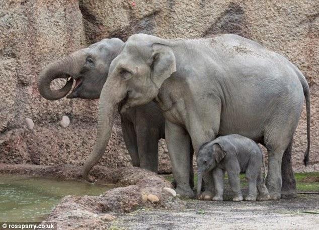 الفيل الصغير مع العائلة مرة أخرى