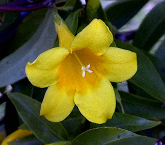Yellow jasmine flowers pictures flower wallpaper jasmine is approximately estimated to come from various countries there are originating from china primrose jasminejasminum mesnyi mightylinksfo