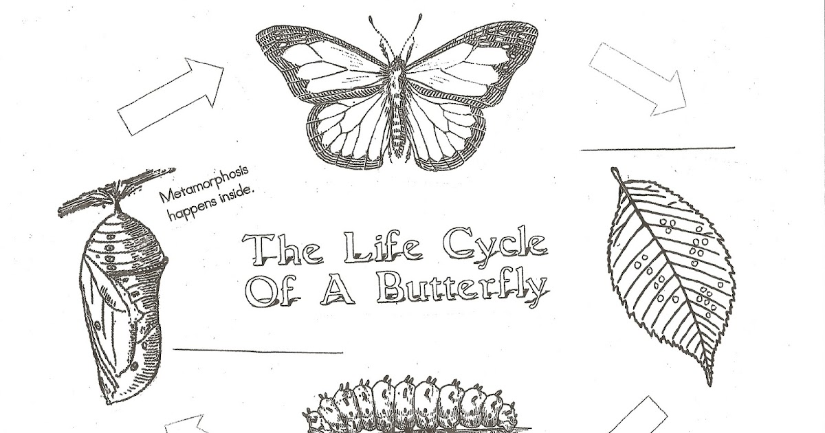 Classroom Freebies Butterfly Life Cycle anchor chartsposters